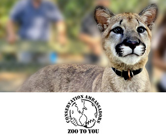 Image of Charlie the cougar